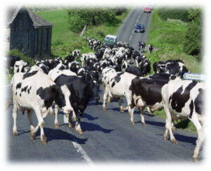 dairy cows loose on highway