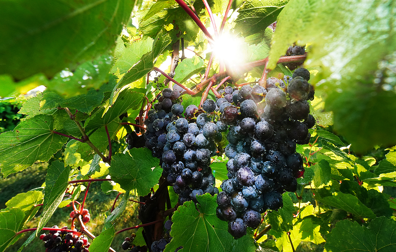 Red grapes on vine.
