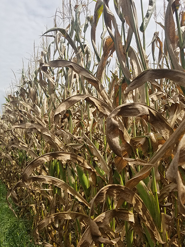 Field corn infected with tar spot. Infected plants display small, raised black and circular spots on healthy or dead tissue of leaves, stalks and husks.