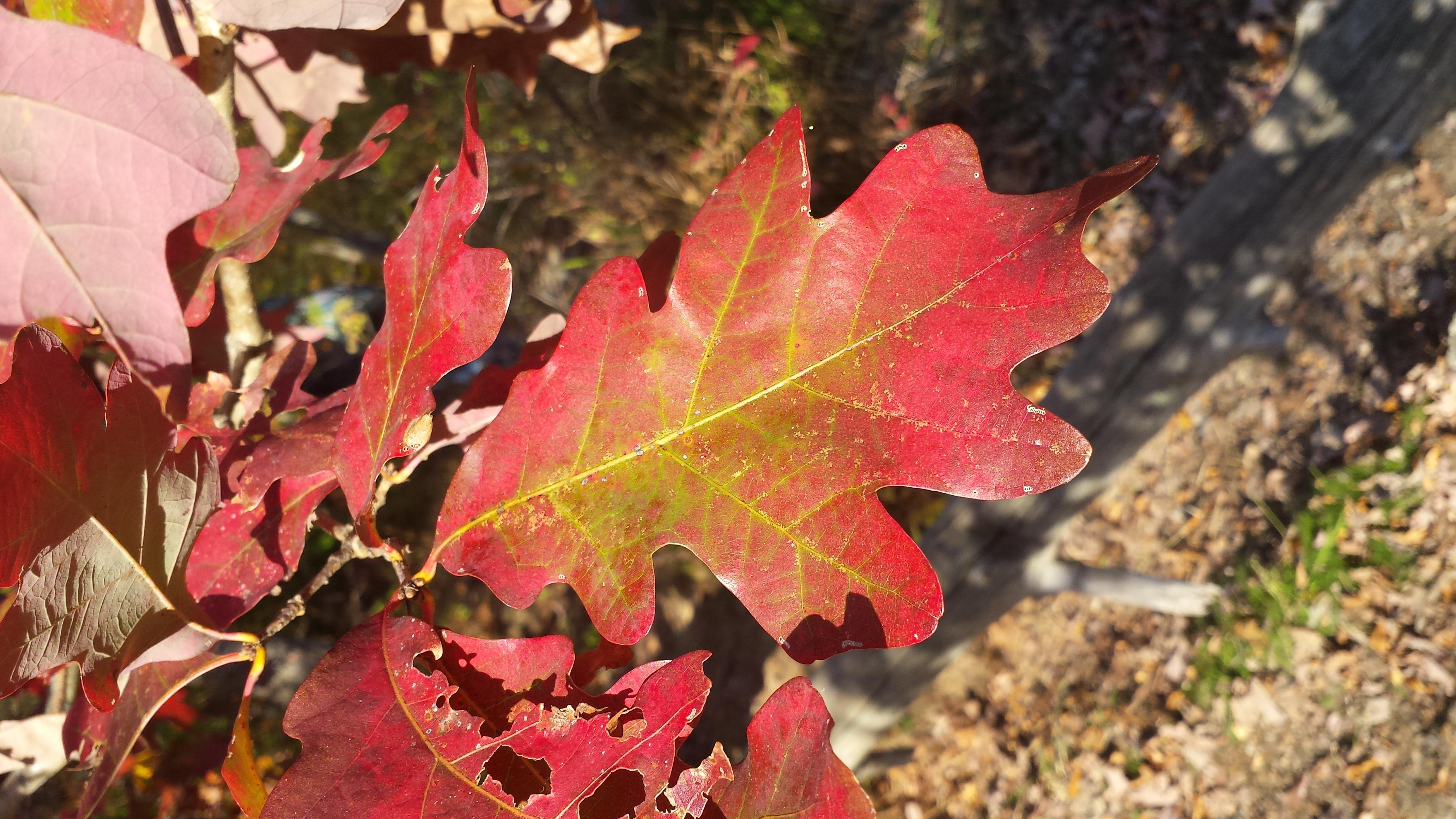 oak leaf in fall